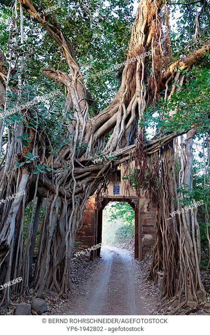 entrance gate and Indian Banyan (Ficus benghalensis), Ranthambore National Park, India