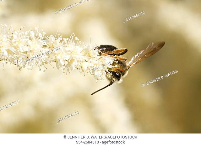 Close-up of a bee on an astilbe flower. Astilbe arendsii
