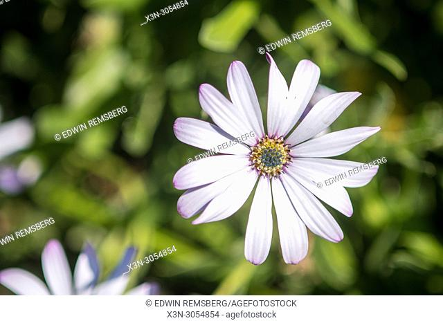 Close up shot of a daisy at the Kirstenbosch Botanical Gardens in Cape Town, South Africa