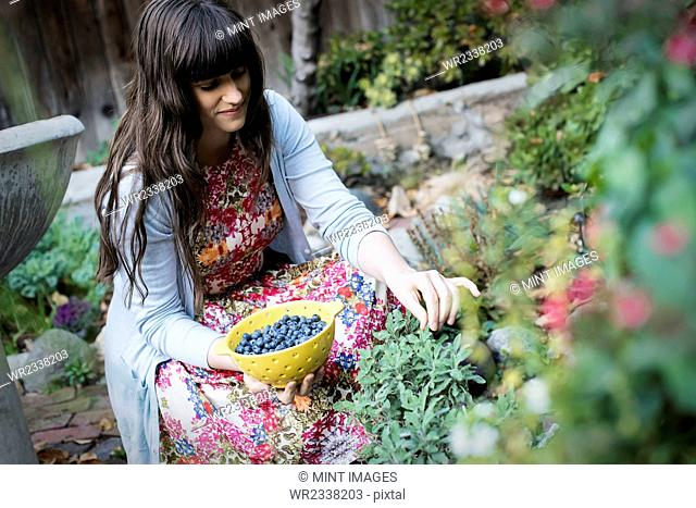 A young woman picking blueberries from plants in the garden