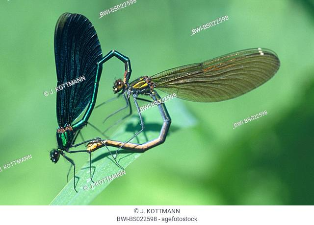 bluewing, demoiselle agrion (Calopteryx virgo), mating, Germany, North Rhine-Westphalia