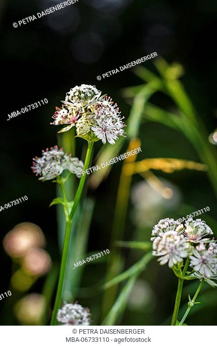 great masterwort, Astrantia major, a shrub in half-shady position and tenuous blossoms