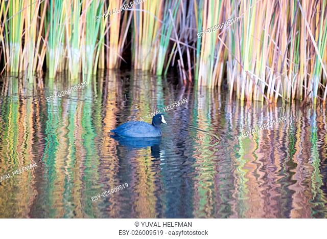The American coot (Fulica americana), also known as a mud hen, is a bird of the family Rallidae