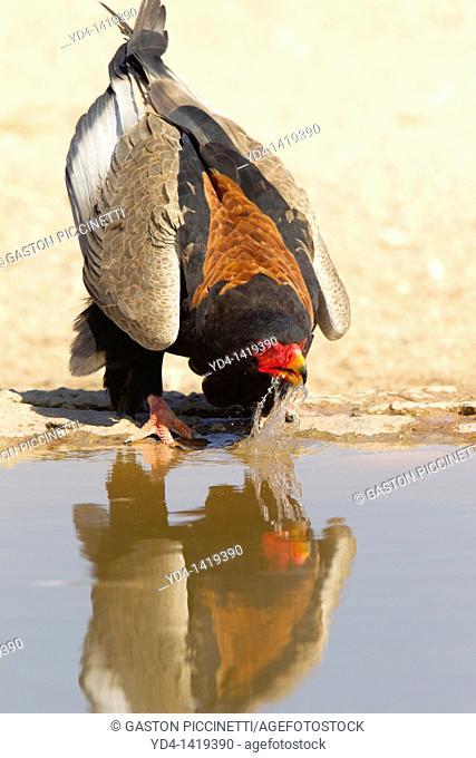 Bateleur Terathopius ecaudatus, in the waterhole, Mabuasehube, Kgalagadi Transfrontier Park, Kalahari desert, Botswana