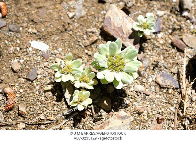 Pygmy cudweed (Filago pygmaea or Evax pygmaea) is an small annual herb native to Mediterranean Basin and Portugal. This photo was taken in Cap Creus Natural...