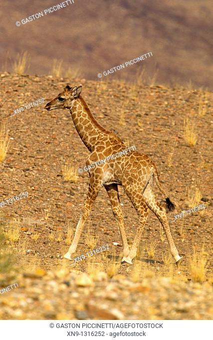 Giraffe Giraffa camelopardalis - Young, Purros, Kunene region, Namibia