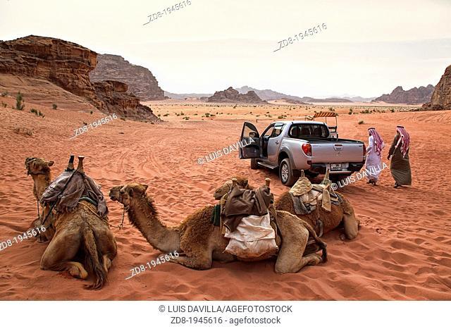 camels in wadi rum desert. jordan