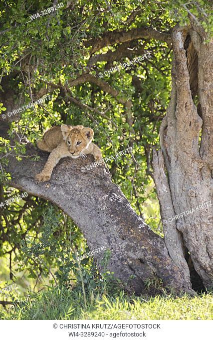 African Lion (Panthera leo) cub, Maasai Mara National Reserve, Kenya, Africa