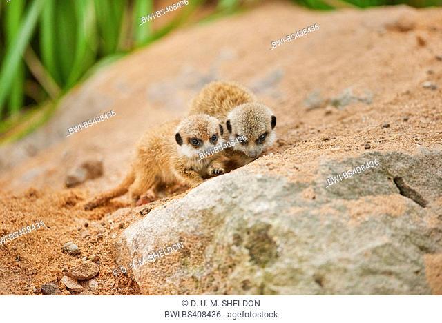 suricate, slender-tailed meerkat (Suricata suricatta), two youngsters