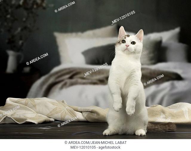 White and chocolate Munchkin Taby cat indoors