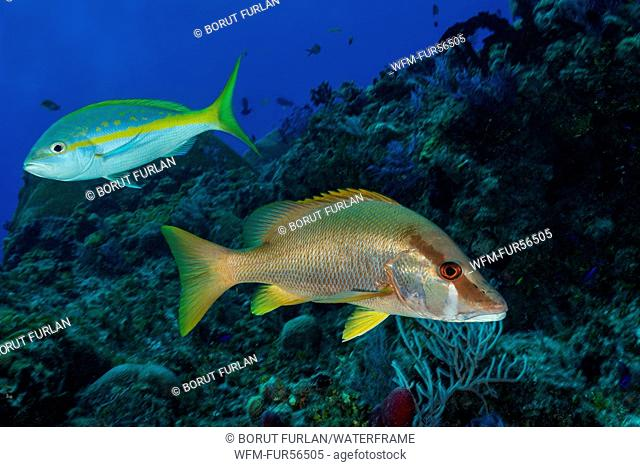 Dog Snapper and Yellowtail Snapper, Lutjanus jocu, Ocyurus chrysurus, Caribbean, Bahamas