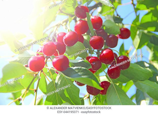 Ripe cherry hanging on branch. Red berries of cherry hang on tree in sunny rays. Sun lights illuminating cluster of cherry berries