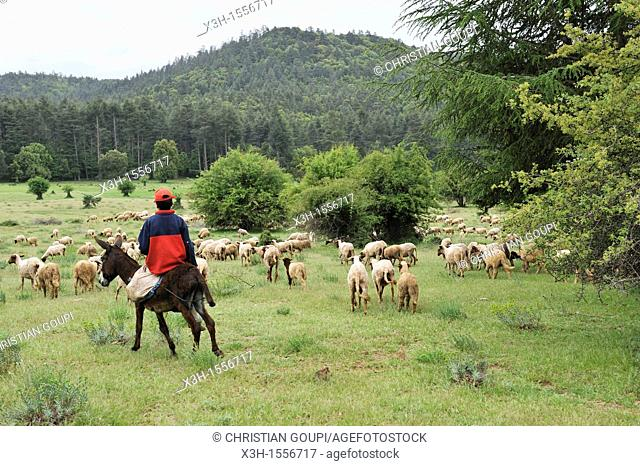 shepherds with a flock of sheep in a clearing, Atlas cedar forest, near Azrou, Middle Atlas, Morocco, North Africa