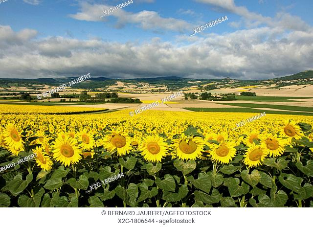 Landscape of the Lembronnais and field of sunflowers, Auvergne, France, Europe
