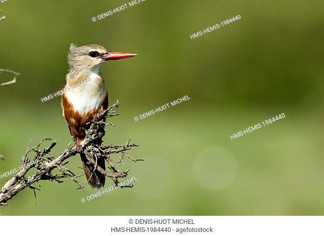 Kenya, Masai-Mara game reserve, Grey-headed Kingfisher (Halcyon leucocephala)