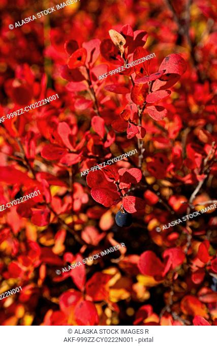 Close up of Autumnn colored blueberry bushes along the Denali Highway, Interior Alaska