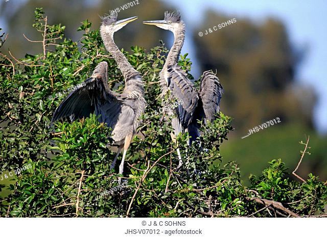 Great Blue Heron, (Ardea herodias), Venice Rookery, Venice, Florida, USA, North America, two subadults on tree
