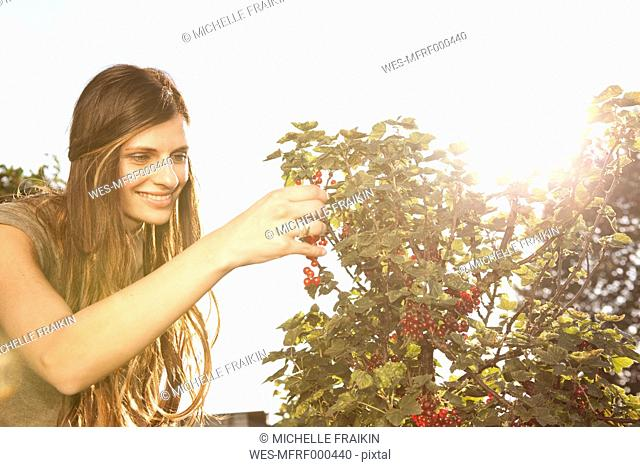 Smiling woman harvesting red currants