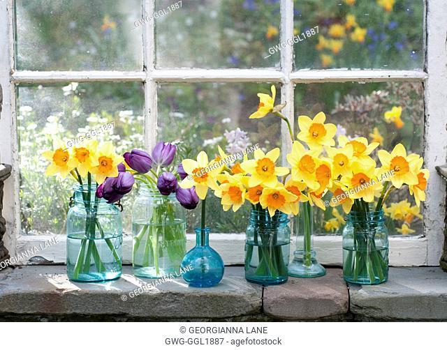NARCISSUS 'AMBERGATE' AND TULIPS IN JARS