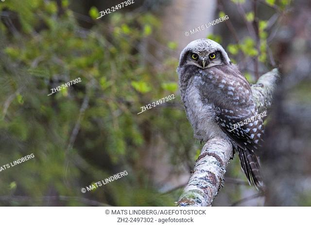 Juvenile Norhtern Hawk-Owl, Surnia ulula, sitting on a birch tree trunk and looking in to the camera, Gällivare, Swedish Lapland, Sweden