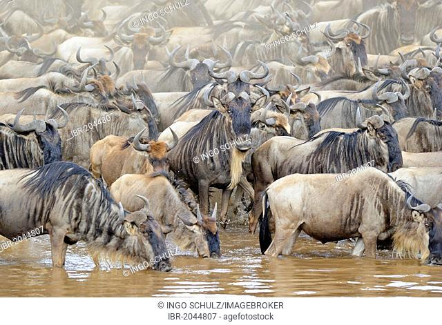 Blue or Common Wildebeest (Connochaetes taurinus), wildebeest migration, jostling for positions on the shore of the Mara River, Masai Mara, Kenya, East Africa