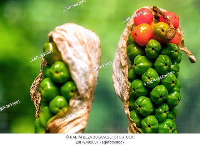 Cuckoo Pint or Lords and Ladies - Arum maculatum - poisonous berries