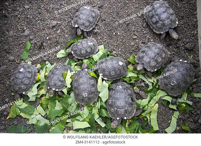 Tortoises at the Jacinto Gordillo tortoise breeding center in the highlands of San Cristobal Island (Isla San Cristobal) or Chatham Island in the Galapagos...