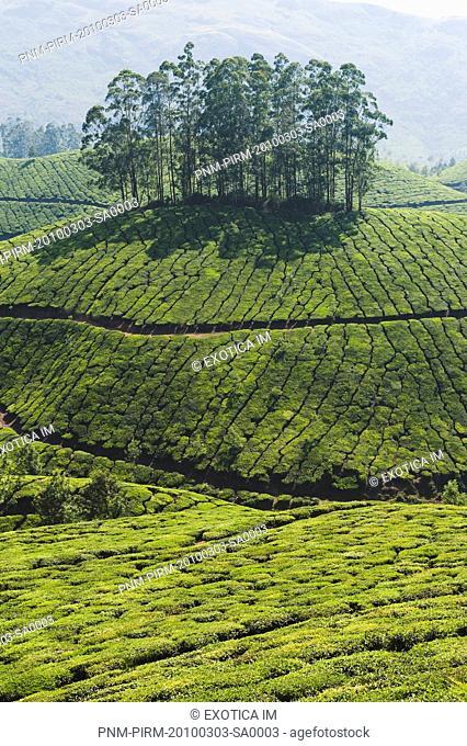 Tea plantation, Devikulam, Munnar, Idukki, Kerala, India