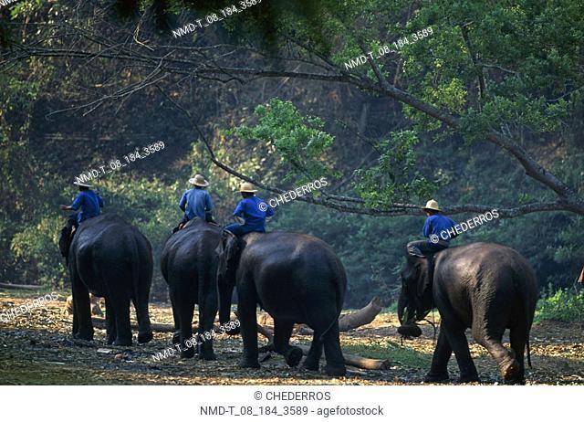 Elephant handlers sitting on elephants, Thailand