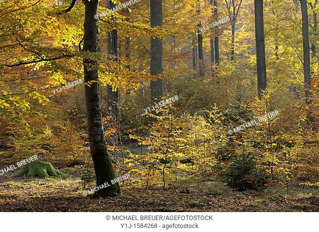 Beech trees, Spessart, Bavaria, Germany, Europe