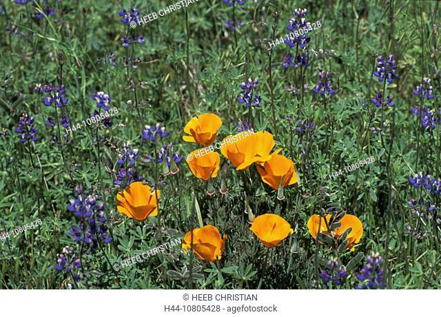California, Poppy, Blue Bonnet, Flowers, near town, Arcata, USA, America, United States, flower meadow, North Americ