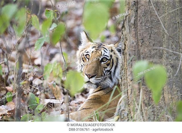 Asia, India, Uttarakhand, Jim Corbett National Park, Bengal Tiger ( Panthera tigris tigris), Young
