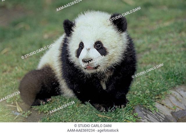 Giant Panda (Ailuropoda Melanoleuca), Baby, Wolong, Sichuan, China, Sichuan Giant Panda Sanctuary, Man & Biosphere Protected Area, Unesco