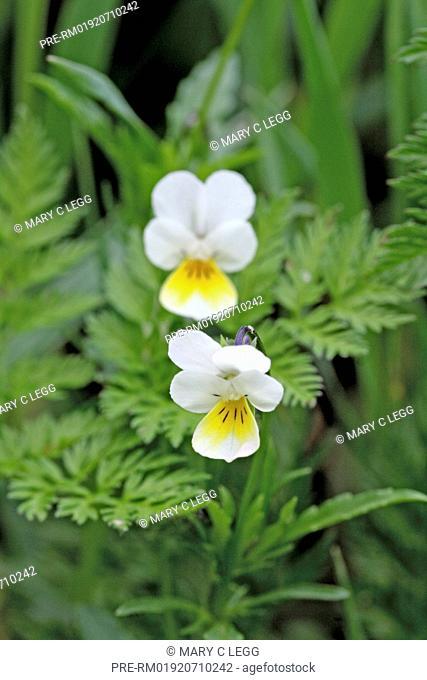 Field Pansy,Viola arvensis / Acker-Stiefmütterchen, Viola arvensis