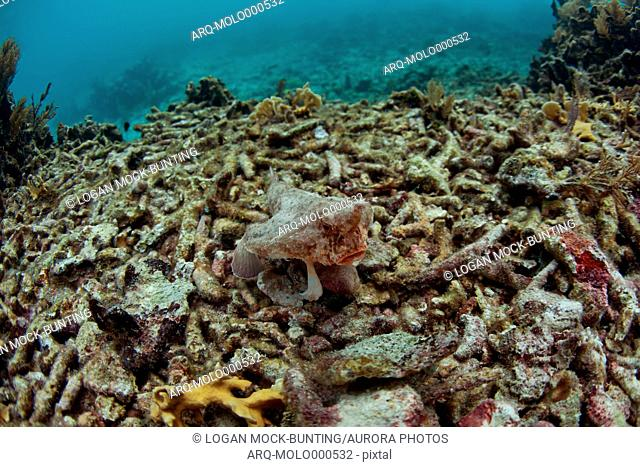 A Batfish (Ogcocephalidae) swims by hard corals, soft corals, fans, and small fish covering sections of Glover's Reef, Belize