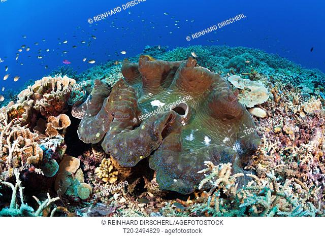 Giant Clam in Coral Reef, Tridacna squamosa, Mary Island, Solomon Islands