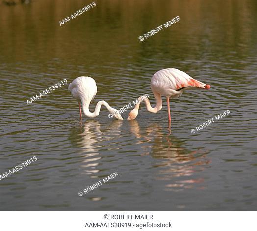 Flamingos (Phoenicopterus ruber) Camargue, France