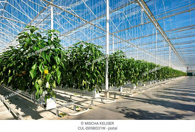 Peppers growing in greenhouse, Zevenbergen, North Brabant, Netherlands