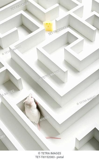 White mouse into labyrinth, studio shot