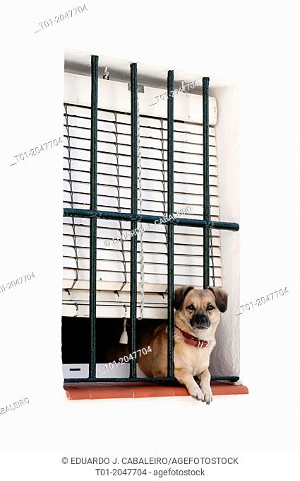 Puppy looking out a barred window. Cazalla de la Sierra. Seville. Andalusia. Spain
