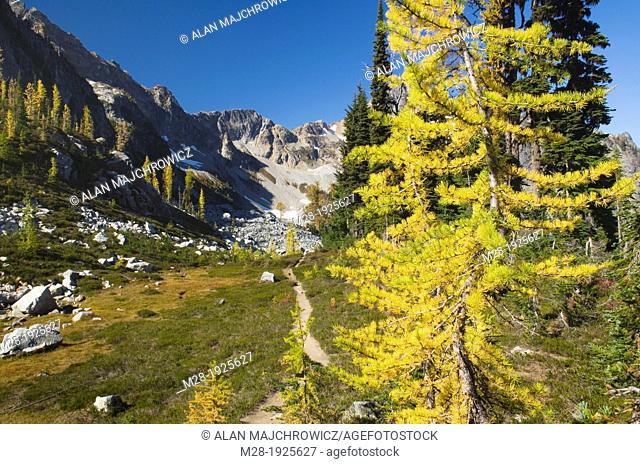 Subalpine Larch in Autumn, North Cscades Washington
