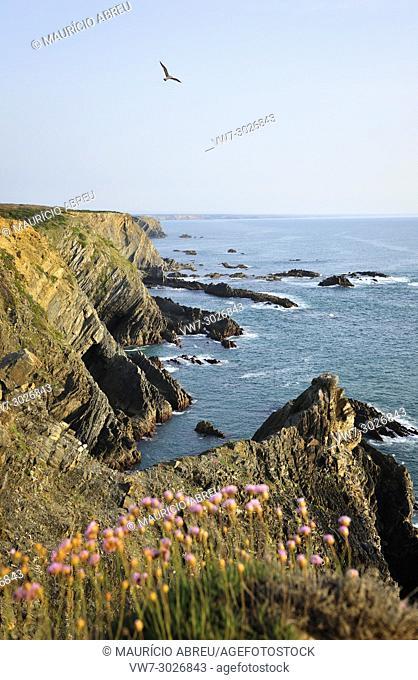 Armeria pungens blossom. Cape Sardao, Sudoeste Alentejano and Costa Vicentina Nature Park, the wildest atlantic coast in Europe. Portugal