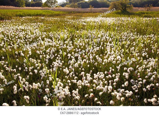 Cotton Grass Eriophorum angustifolium on Norfolk local nature reserve