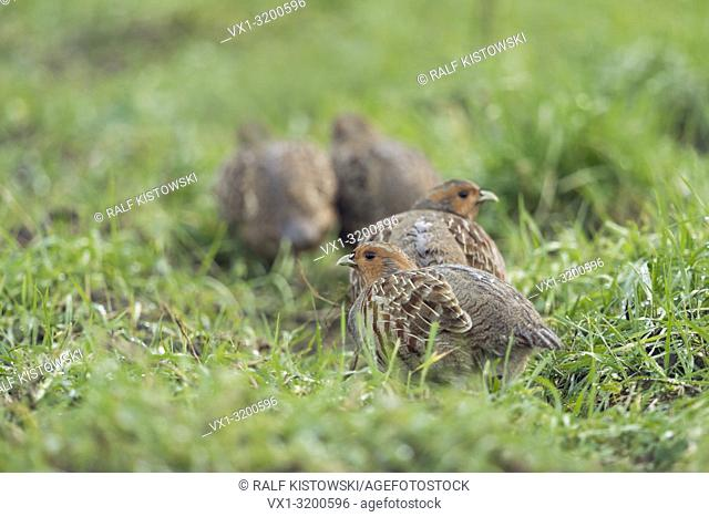 Attentive group of Grey Partridges ( Perdix perdix) sneaking away, carefully watching around, wildlife, Europe