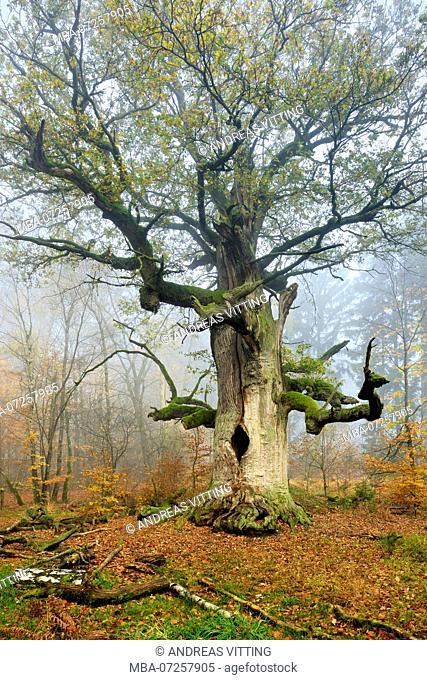 Germany, Hesse, Sababurg, Reinhardswald, common oak 'Kamineiche', a huge old mossy gnarled oak in a former pastoral forest in autumn, fog