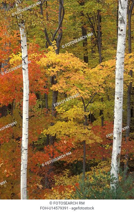 autumn, trees, A forest of colorful maple trees and white birch trees in the fall