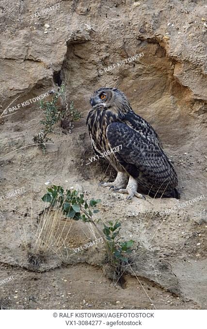 Eurasian Eagle Owl ( Bubo bubo ), perched in the slope of a sand pit, late in the evening, nice intensive colours, wildlife, Europe