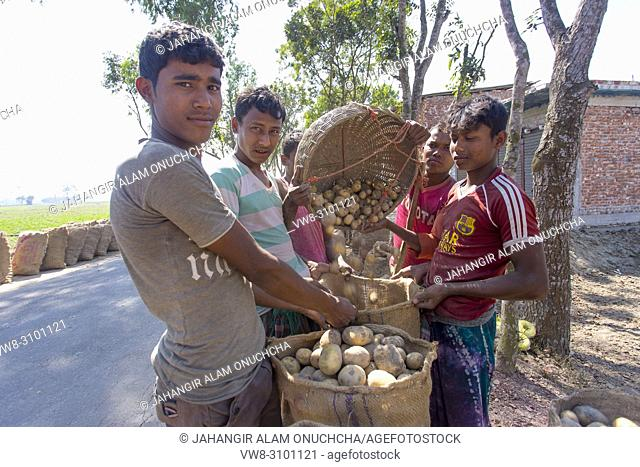 Labors are carrying harvested fresh potatoes in field near of Kahalu at Bogra district, Bangladesh