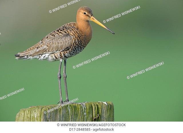 Black-tailed godwit (Limosa limosa) perched on fence post. Island of Texel. The Netherlands