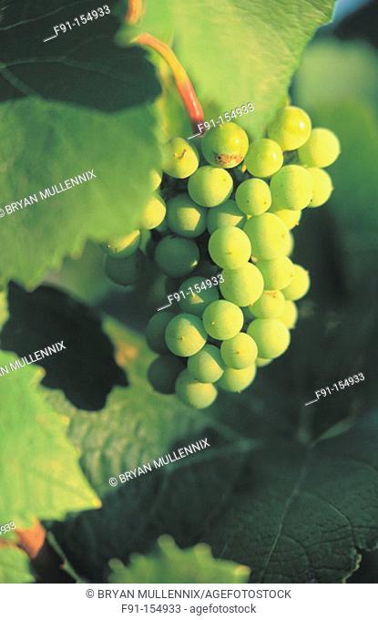 Grapes. Willamette Valley. Oregon. USA